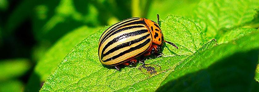 Лучшие способы борьбы с колорадским жуком