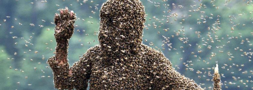 Калифорнию атакуют пчелы-убийцы