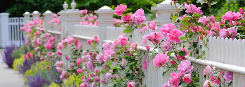 Как выбрать розы для своего цветника? Опыт FORUMHOUSE