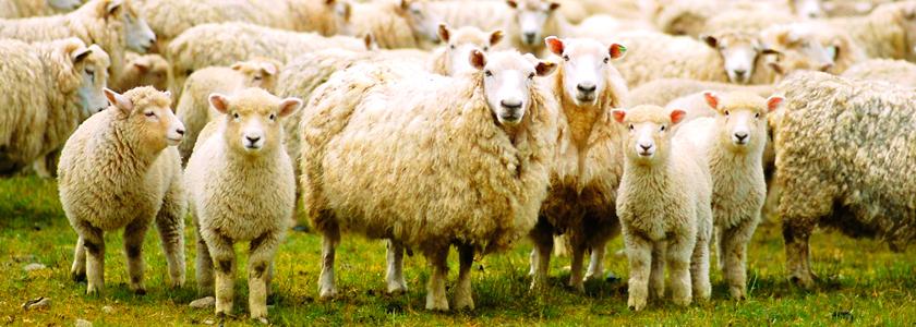 На мясо и шерсть: как развести овец в своем хозяйстве