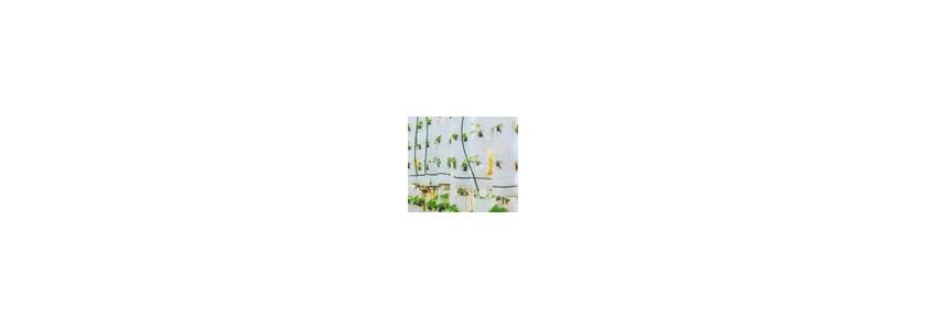 Выращивание клубники круглый год без тепличного помещения