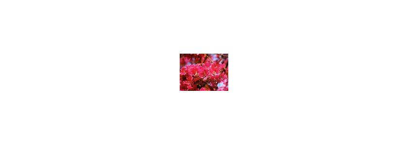 Яблоня, одетая в пурпур (яблоня Лемуана)