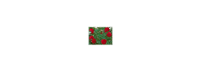 Плетистые розы. Подготовка и посадка