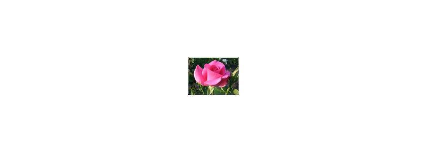 Плетистые розы. Размножение роз черенкованием