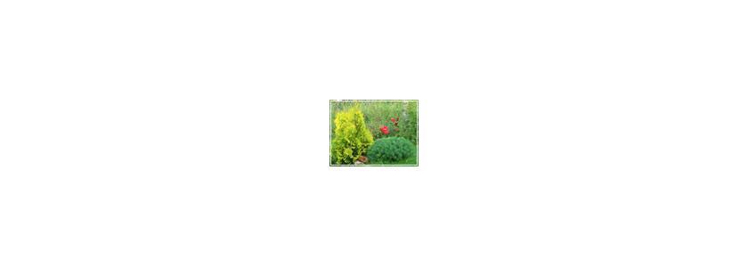 Зачем нам ёлочки в саду? Советы по оформлению сада хвойными растениями.