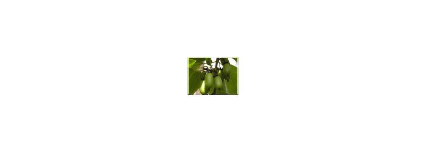 Актинидия и лимонник в вертикальном озеленении