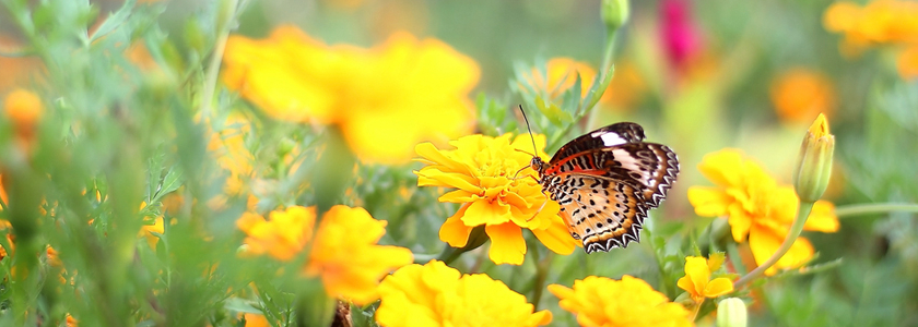 Как привлечь в сад бабочек
