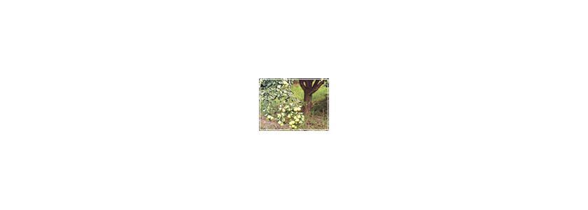 Яблоку негде упасть. Как регулировать урожайность плодовых деревьев