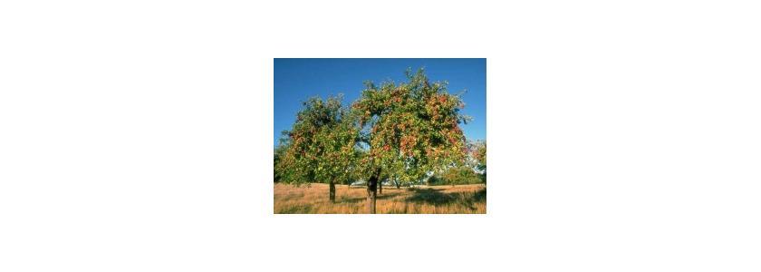 Пересадка взрослых плодовых деревьев