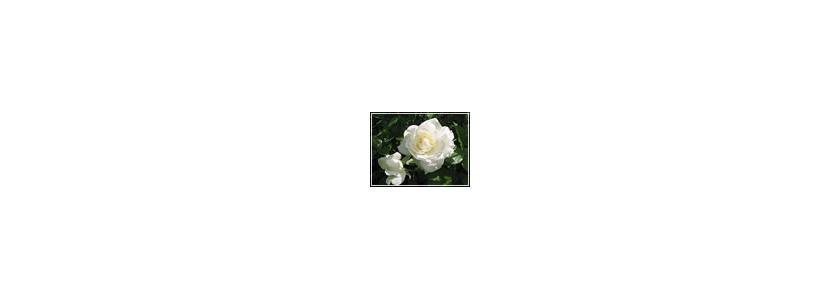 Плетистые розы.Подкормка роз