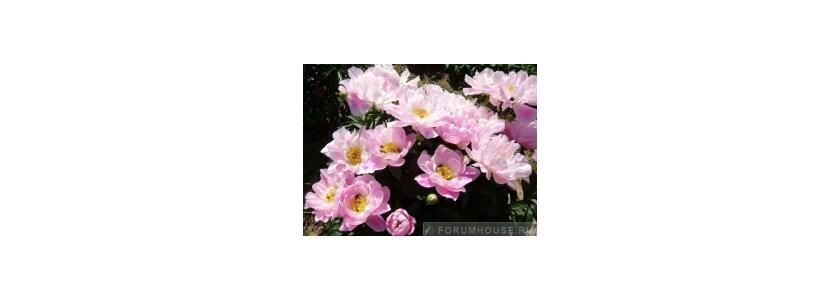 Красивоцветущие и декоративнолиственные многолетние растения