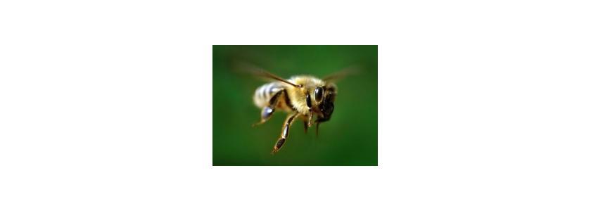 Пчела из Восточной Африки – надежда пчеловодов всего мира