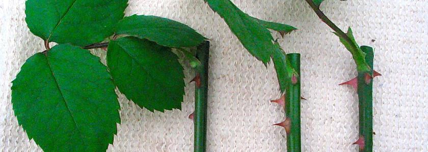 Шапочка из фольги: как улучшить укоренение зеленых черенков