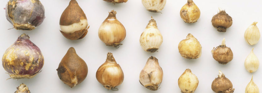 Готовь луковицы осенью