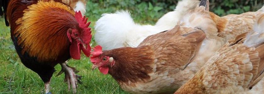 Мараны: опыт выращивания красивой породы кур