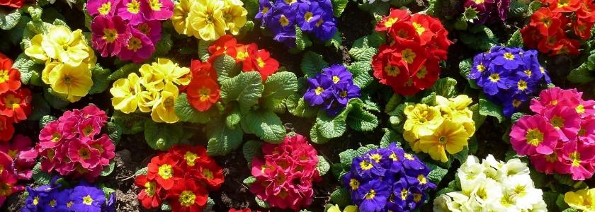 Самые популярные первоцветы