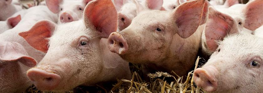 Свинки на лето