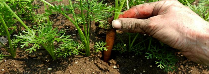Не густо! Пользователи FORUMHOUSE прореживают морковь и свеклу