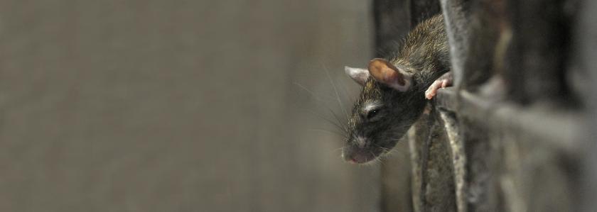 Мыши в доме: кто виноват и что делать