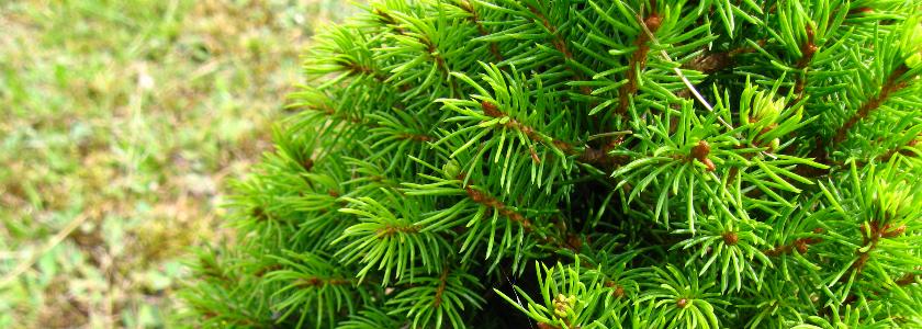 Превращаем лесную елку в первую красавицу
