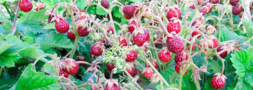 Земклуника - божественная ягода