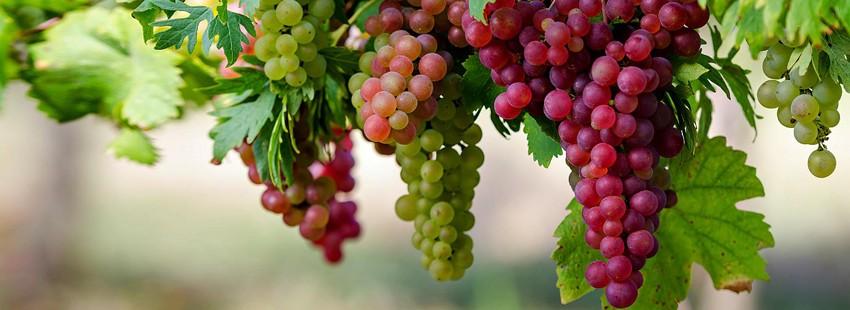 Быстрый способ размножения винограда