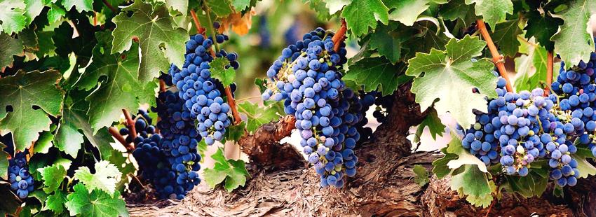 Ускоряем вызревание виноградной лозы