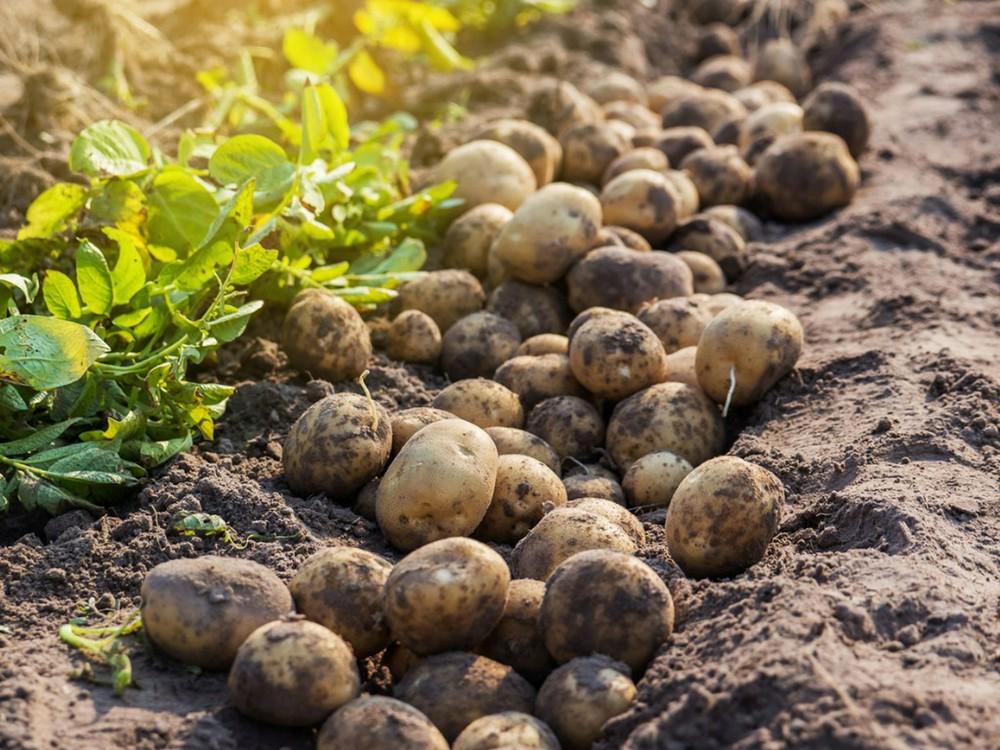 Кого оштрафуют за выращивание картофеля