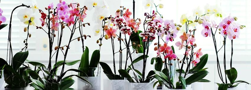 Недикая орхидея: как ухаживать за фаленопсисом и добиться долгого цветения