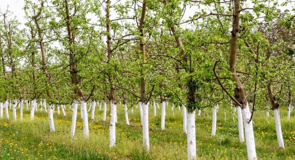 Весенняя побелка деревьев