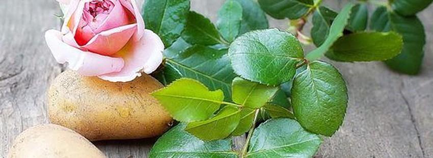 Картофельная роза