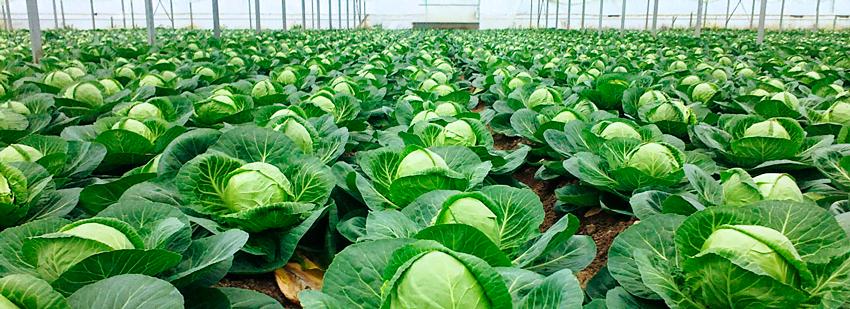 Как вырастить отличную капусту
