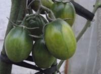 Почему он белый? Потому, что зеленый! Форумчане дозаривают томаты